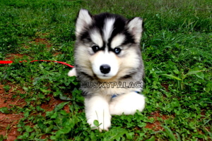 IMG_4102 - Copy Siberian Husky Puppies In NC