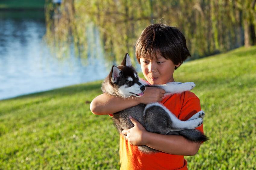 Alaskan Klee Kai Puppy | Husky Palace