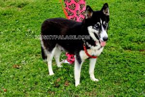 Destiny Siberian Husky - Siberian Husky Puppies For Sale - reputable breeder