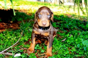 Doberman-Pinscher-breeder-in-SC