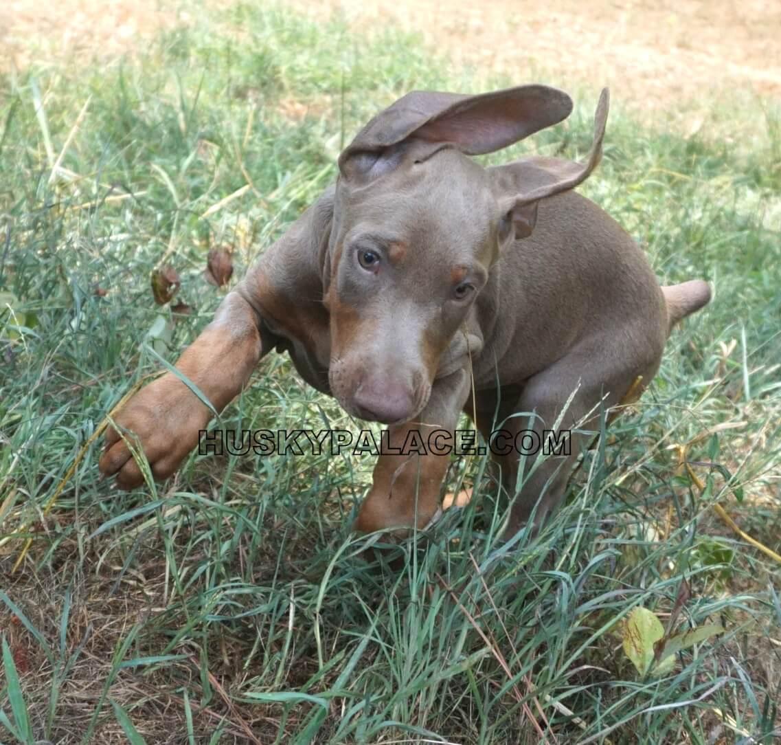 Doberman-pinscher- Prepared for a Puppy