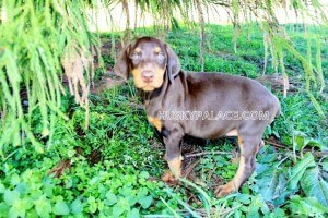 Doberman-pinscher-in-SC Pet Only Guarantee