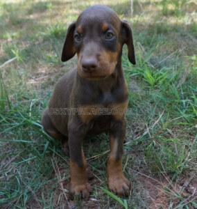 Dorbeman-pinscher-puppy-