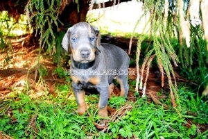 blue-Doberman- Storing Pet Food Our Doberman Pinschers