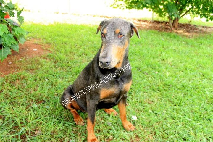 cosmo-dobermans-for-sale Doberman Palace's Tobias