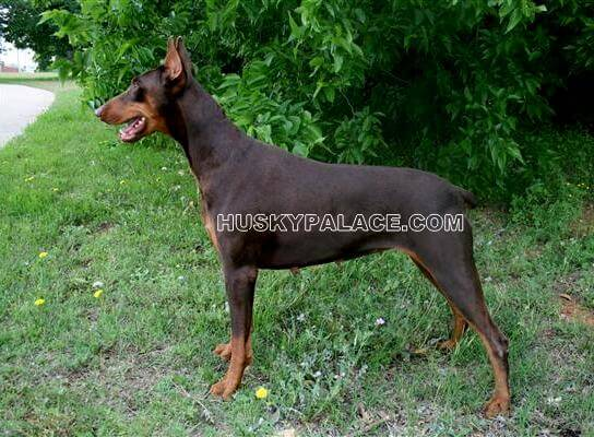 doberman-Huskyplace.com Doberman Pinscher Reputable Breeder Doberman Palace's Tobias