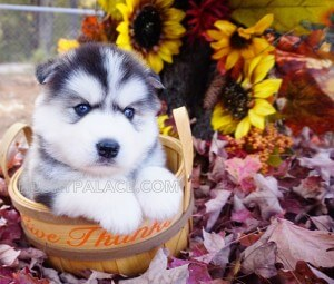 Siberian-husky-pics Husky Palace's FAQ Care of New Puppy husky puppies for sale nc