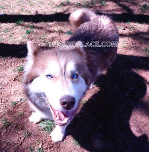 Valentine Blue eyed Siberian husky IMG 5 - husky puppies for sale