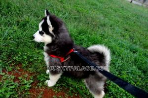 black-white-Siberian-husky