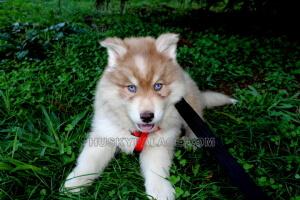 blue-eyed-Siberian-husky