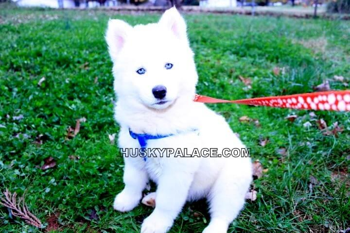Dog With Blue Eye Breed