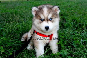 blue-eyes-Siberian-husky Flying Safely With Your Pet