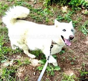 Pearl Siberian husky IMG 1 Pearl-Siberian-husky Siberian Husky Upcoming Litters