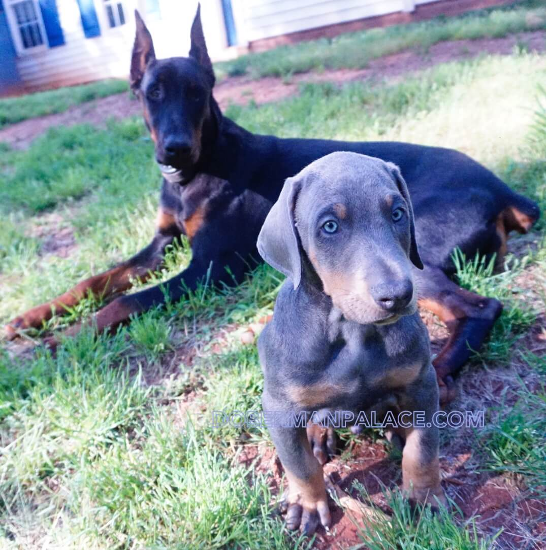 Our Doberman Pinschers Sire Dams Husky Palace