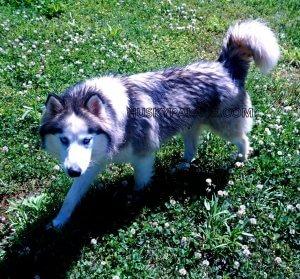 Belle-Siberian-husky-Breeder Siberian Huskies in the Carolinas Reputable Siberian Husky breeders