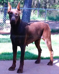 Directly Imported Doberman Pinscher From Europe Doberman Pinscher Puppies for Sale Imported European Doberman Our Doberman Pinschers