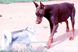 Doberman-pinscher-Champion-Sired