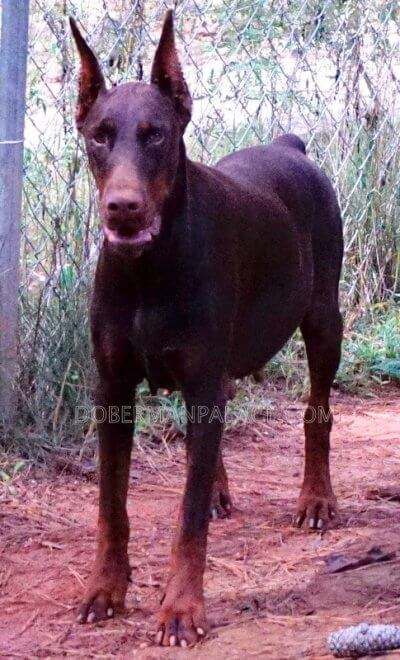 Doberman-pinscher-puppies-for-sale