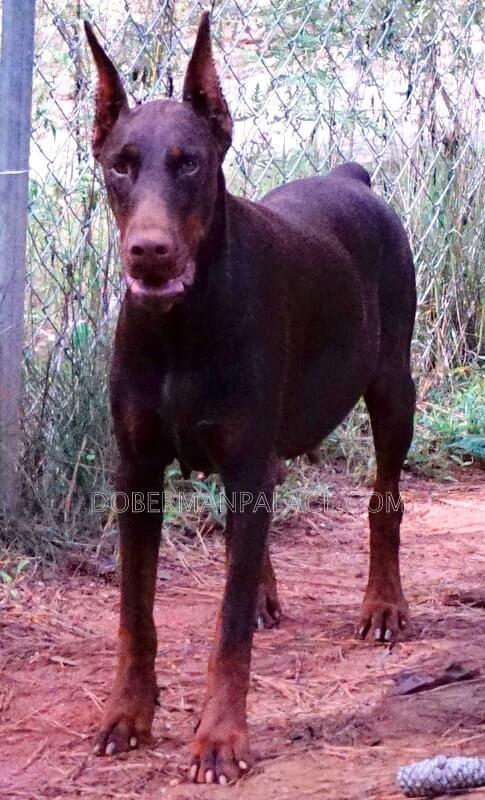 Doberman-pinscher-puppies-for-sale