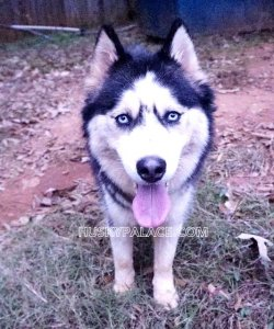 Our Siberian Huskies In Anderson Sc Husky Palace