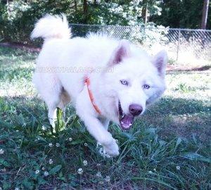 Klaus Mikaelson siberian husky puppies