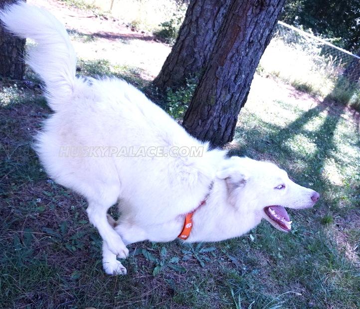 Klaus Mikaelson siberian husky