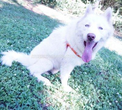 Klaus Mikaleson siberian husky puppies in charlotte, NC