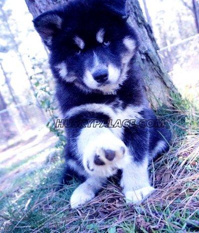 mulan-siberian husky breeder