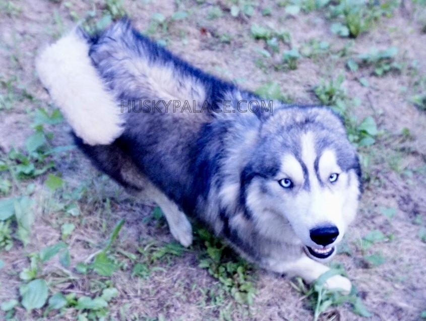 aquiles-siberian husky puppies sale sanford nc