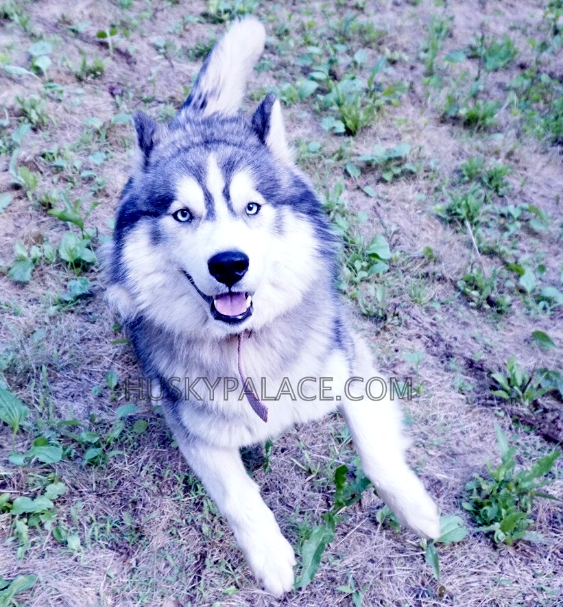 AQUILES siberian husky puppies sanford nc breeder