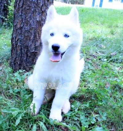 davina claire solid white siberian husky wooly blue eyes