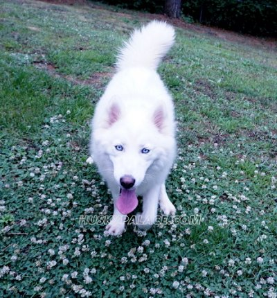 davina claire solid white siberian husky wooly