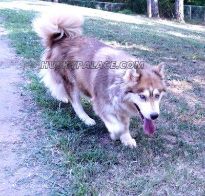 valentine - husky puppies for sale