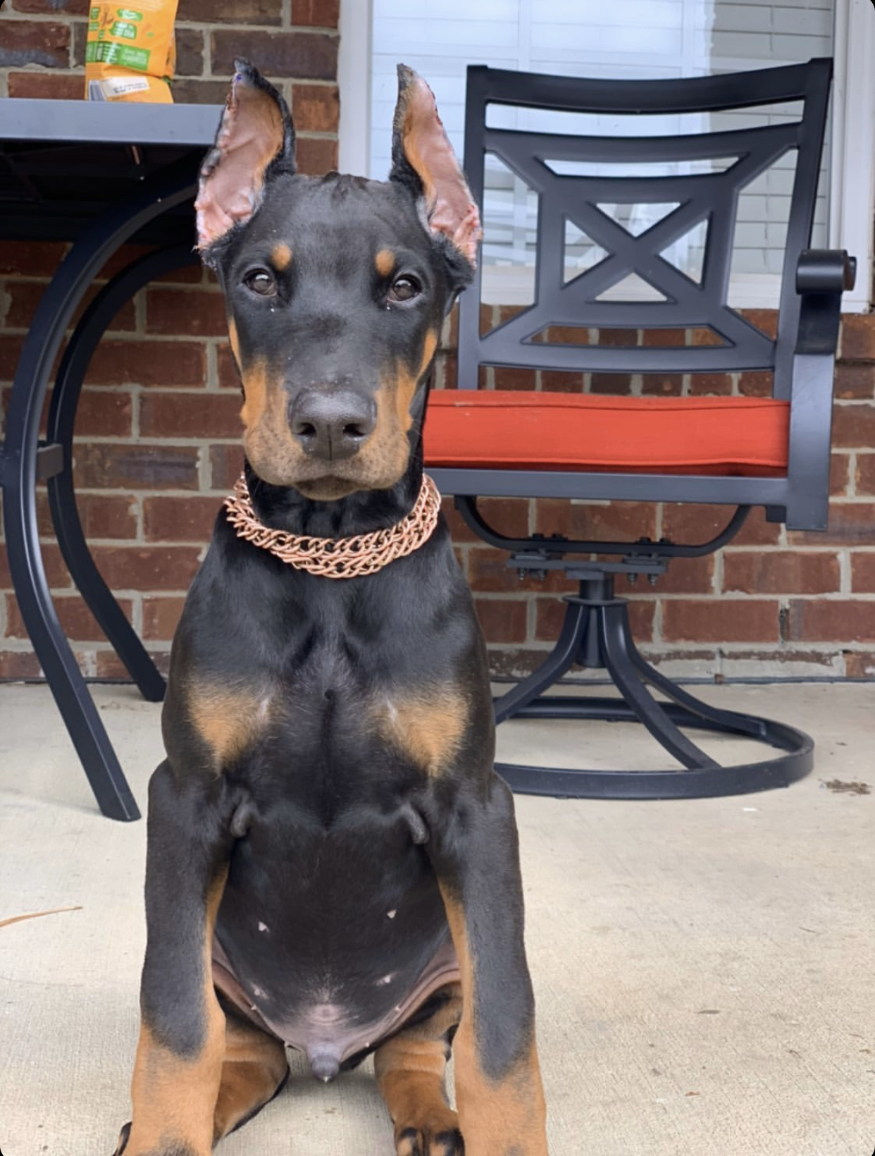 Doberman Pinscher Puppies For Sale Doberman Palace