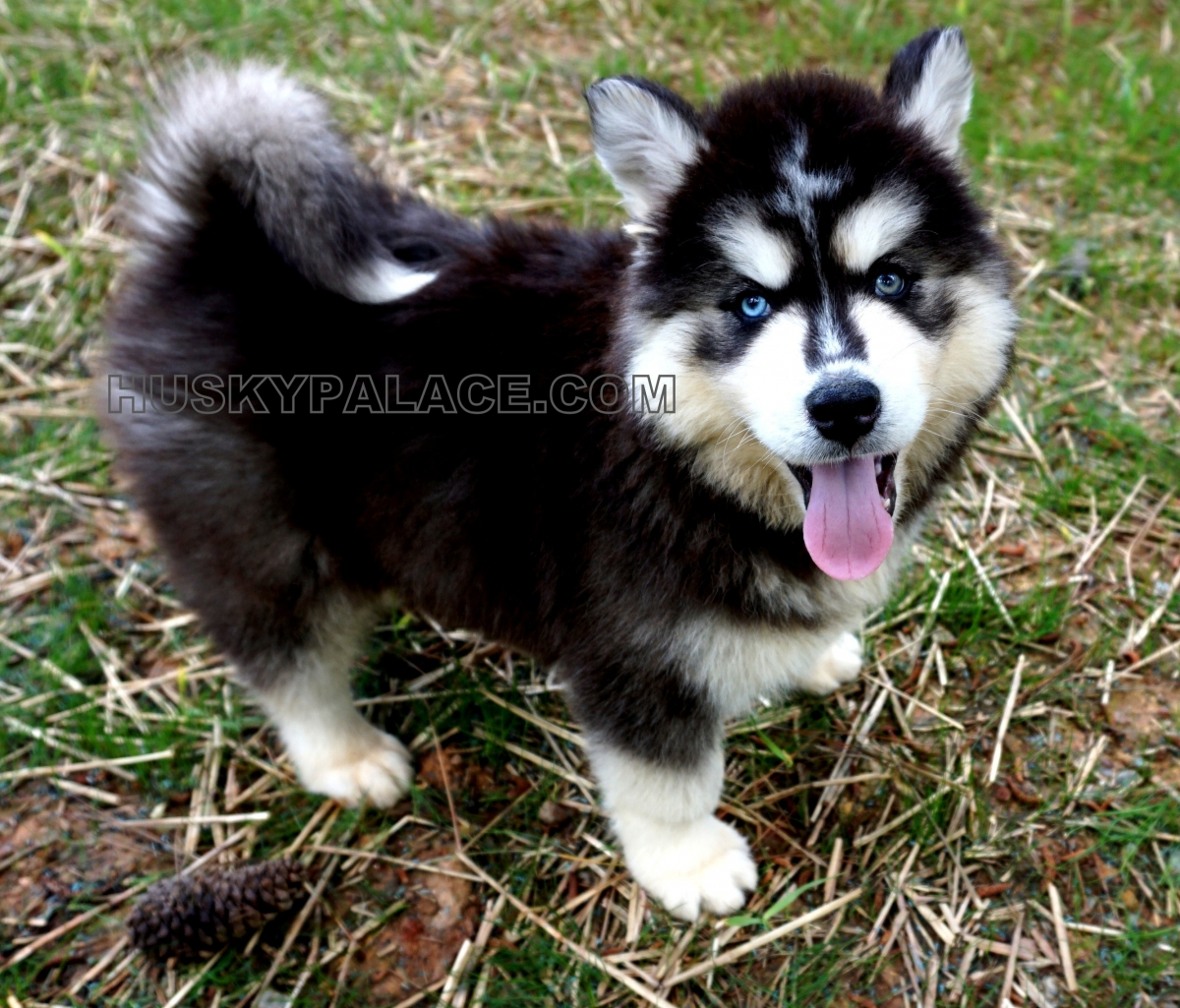 Image Result For Siberian Husky Puppies For Sale Under