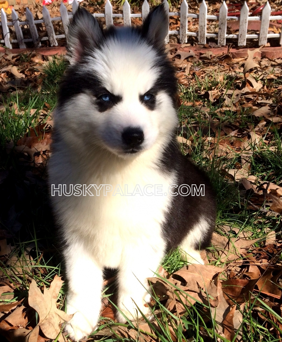 Adorable Siberian Husky Pictures of Past Puppies   Husky Palace   Siberian Husky Puppies Charlotte Nc
