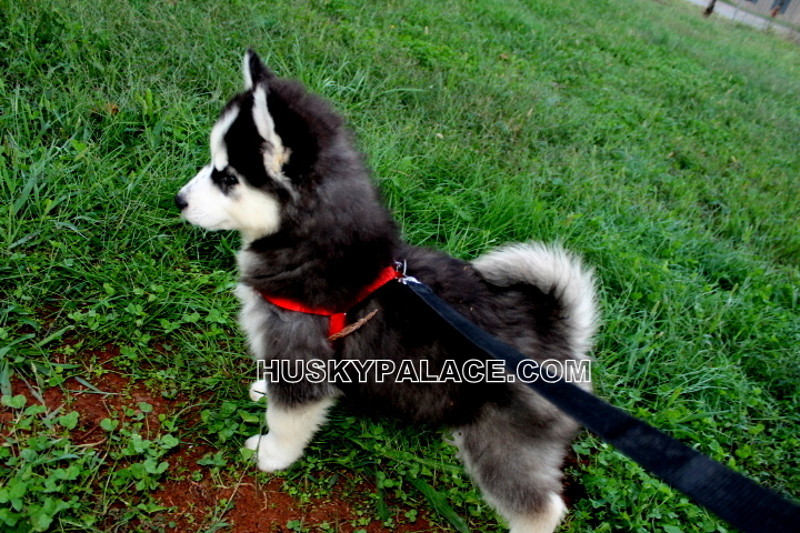 Adorable Siberian Husky Pictures Of Past Puppies Husky Palace