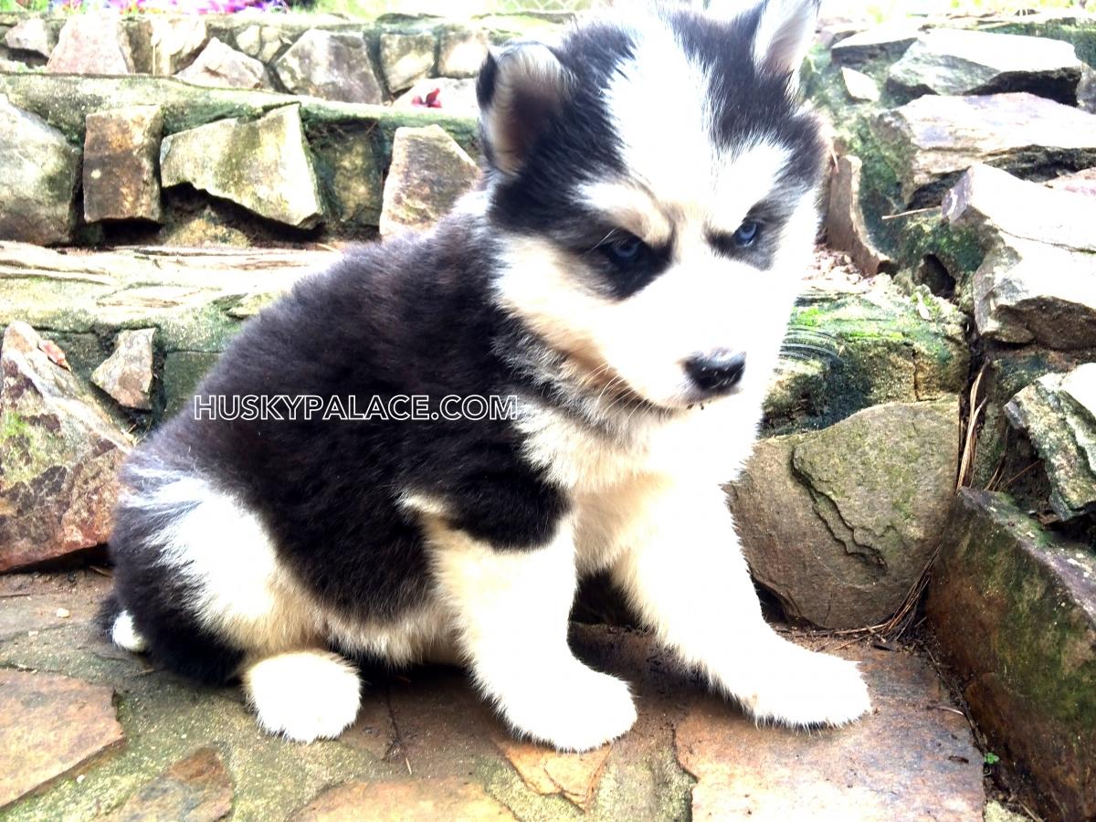 Akc Adorable Siberian Husky Puppies For Sale Husky Palace