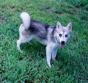 Alaskan-Klee-Klai-puppy-Breeder-