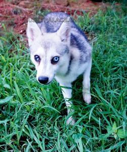 Blue-eyes-Alaskan-Klee-Klai-Breeder