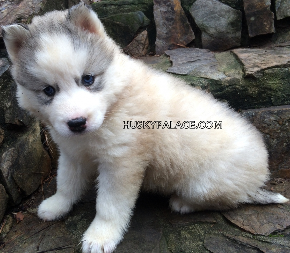 Adorable Siberian Husky Pictures of Past Puppies | Husky Palace